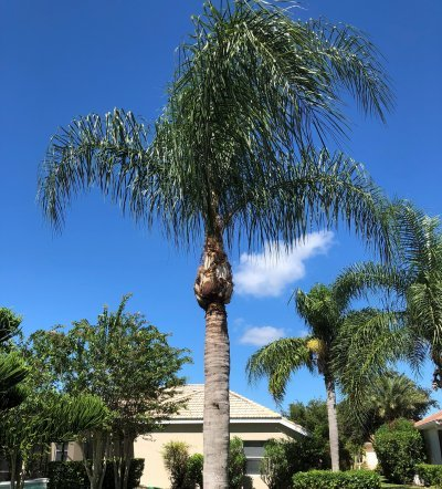 Palm After Pruning