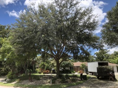 Live Oak Tree After Pruning